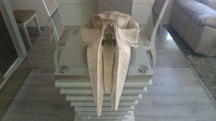 cráneo de ballena