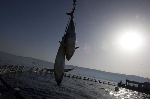 El gobierno regula la pesquer a del at n rojo hablame for Ministerio de pesqueria