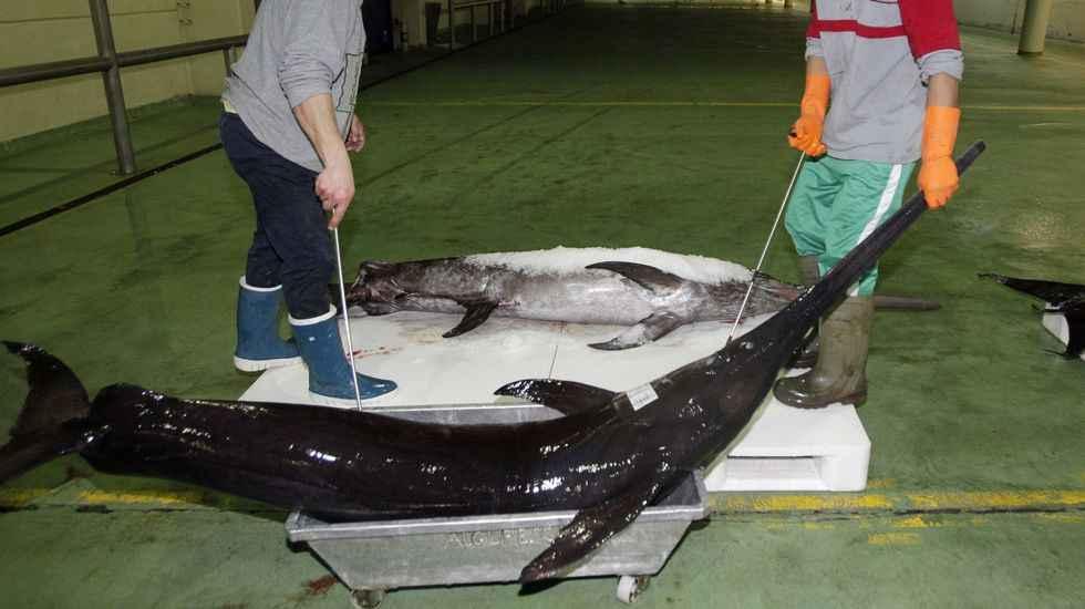 La iccat negocia instaurar cuotas de pesca de pez espada for Curiosidades del pez espada